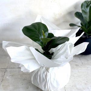 צמח מומלץ לבית או למשרד פיקוס כינורי 'בייבי' למראה ירוק ונקי 🌿