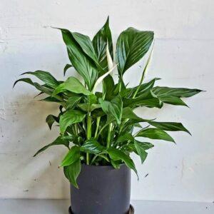 צמח בית פורח ספטיפיליום למראה חגיגי ונקי 🌷