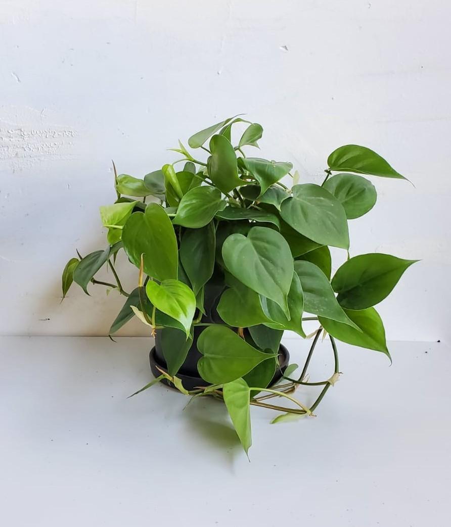 צמח בית ללא אור סקנדנס נשפך ומרהיב ביופיו