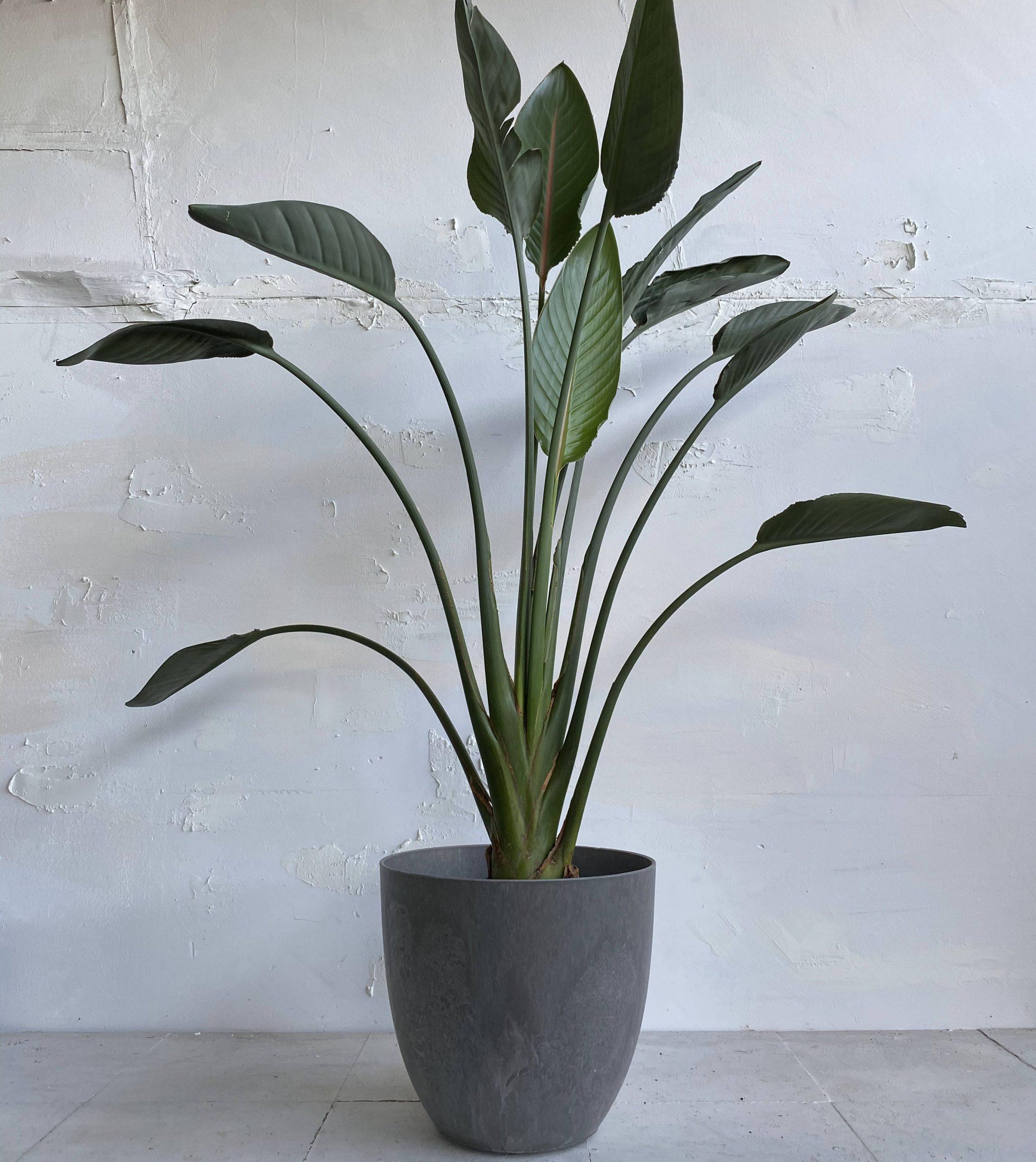 צמח גדול לבית או למשרד ציפור גן עדן למראה מלכותי