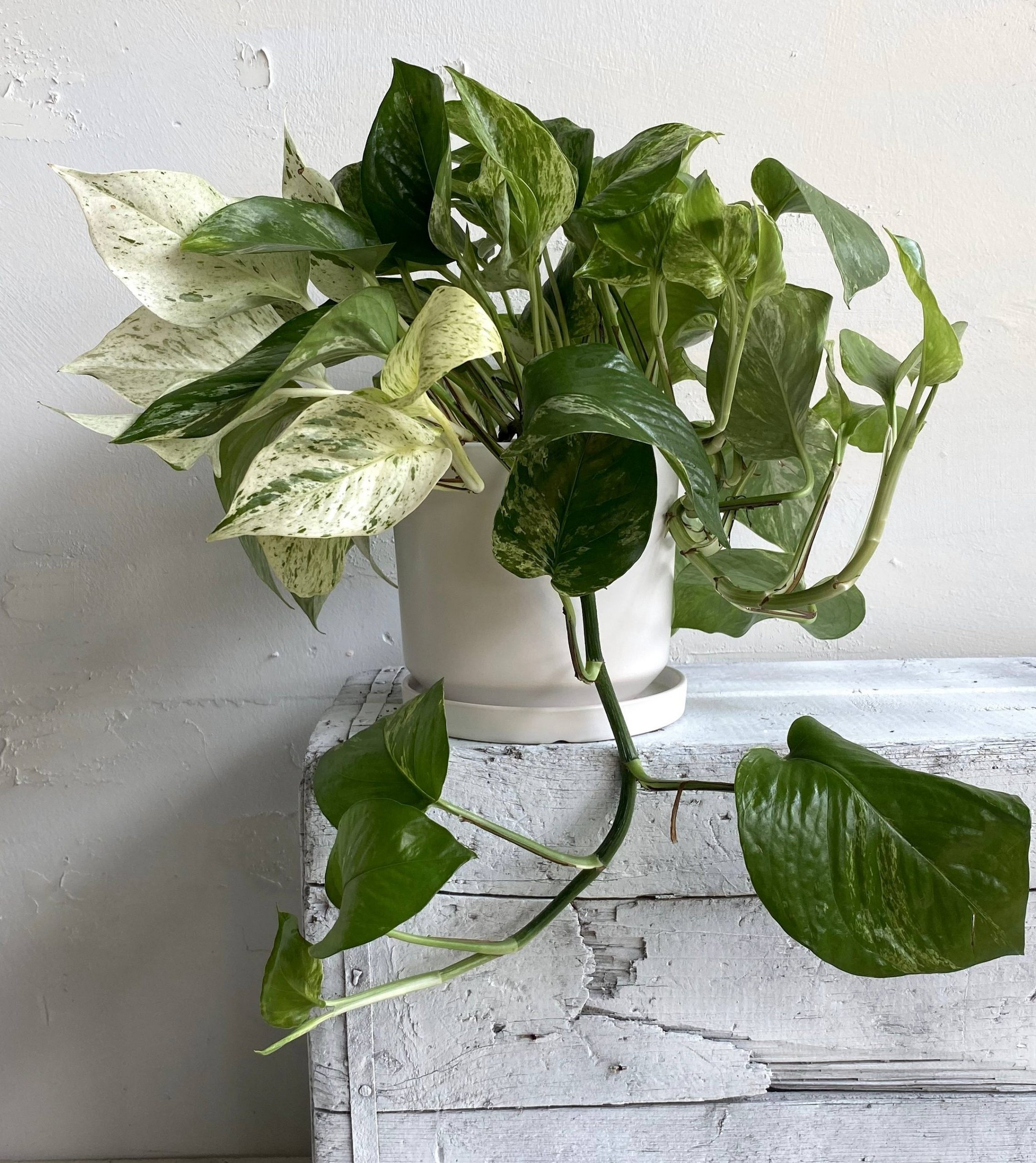 צמח נשפך לבית ולמשרד לגידול בתנאיי חושך פוטוס שייש עשיר ועמיד במיוחד