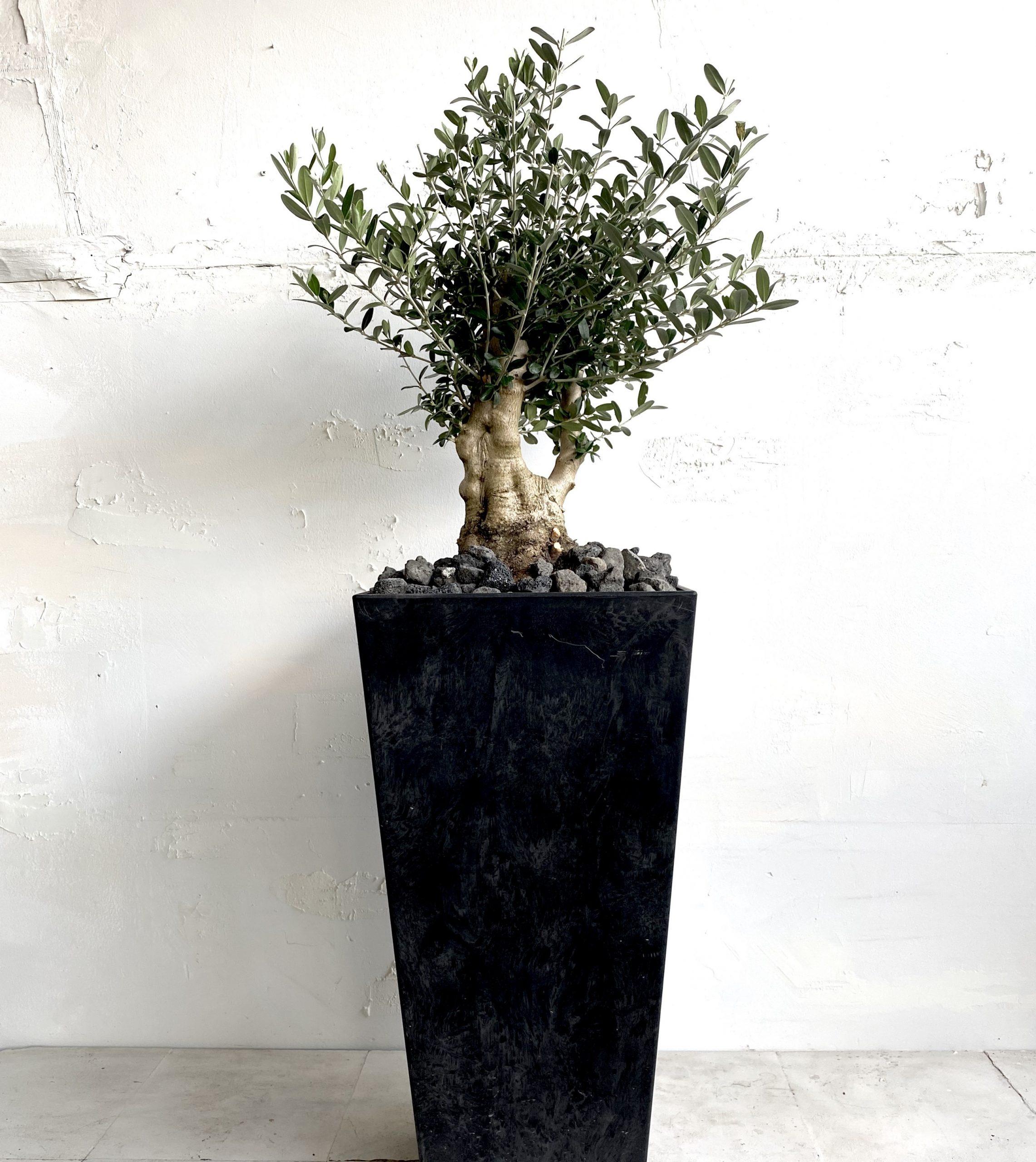 עץ זית בונזאי גדול למראה מפואר ואלגנטי למרפסת או לגינה