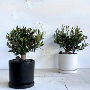 עץ קטן לבית עץ זית ננסי בכלי קרמיקה נקי ויפה 🌴