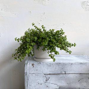 צמח השפע פורטולוקריה למראה עשיר וסמלי ☘️