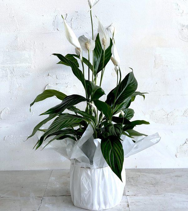 צמח בית פורח ספטיפיליום למראה חגיגי ונקי