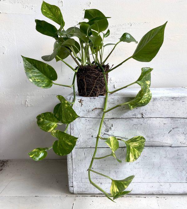צמח נשפך ועמיד במיוחד לכל תנאי התאורה פוטוס זהוב למראה קסום