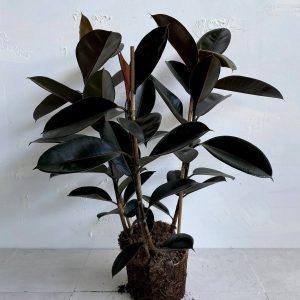 צמח גדול לבית או למשרד פיקוס גומי שחור למראה מבריק וייחודי 🌿