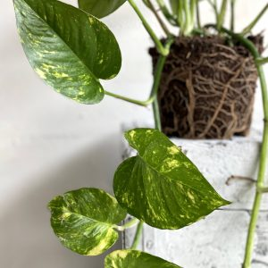 צמח נשפך ועמיד במיוחד לכל תנאי התאורה פוטוס זהוב למראה קסום 🌿