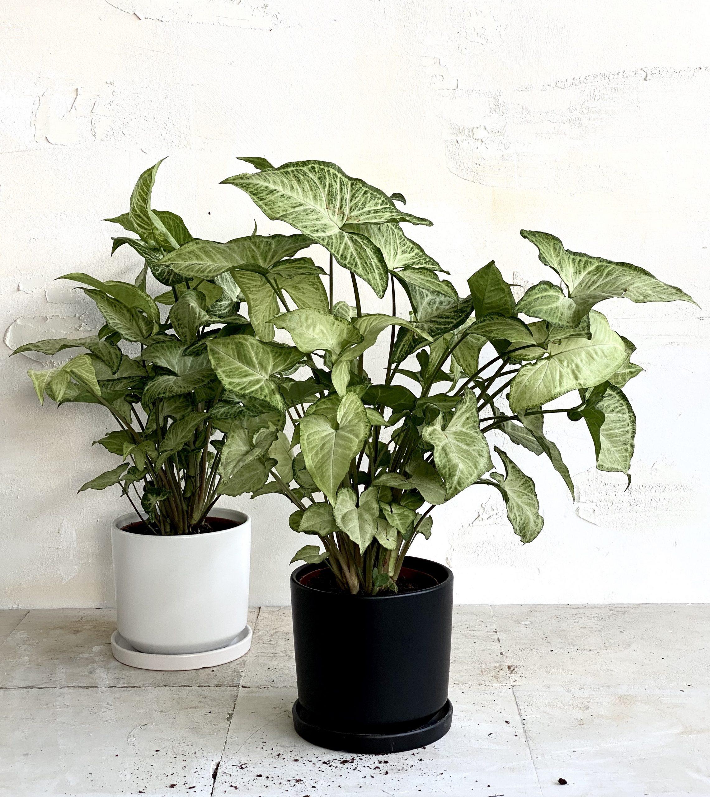 צמח מטפס לבית סינגוניום למראה שופע וטבעי