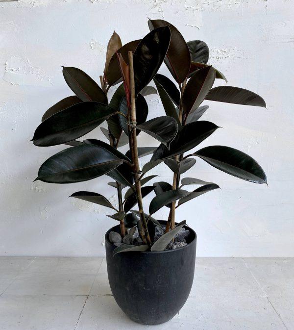 צמח גדול לבית או למשרד פיקוס גומי שחור למראה מבריק וייחודי