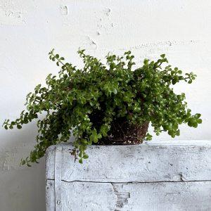 צמח השפע פורטולוקריה למראה עשיר וסמלי