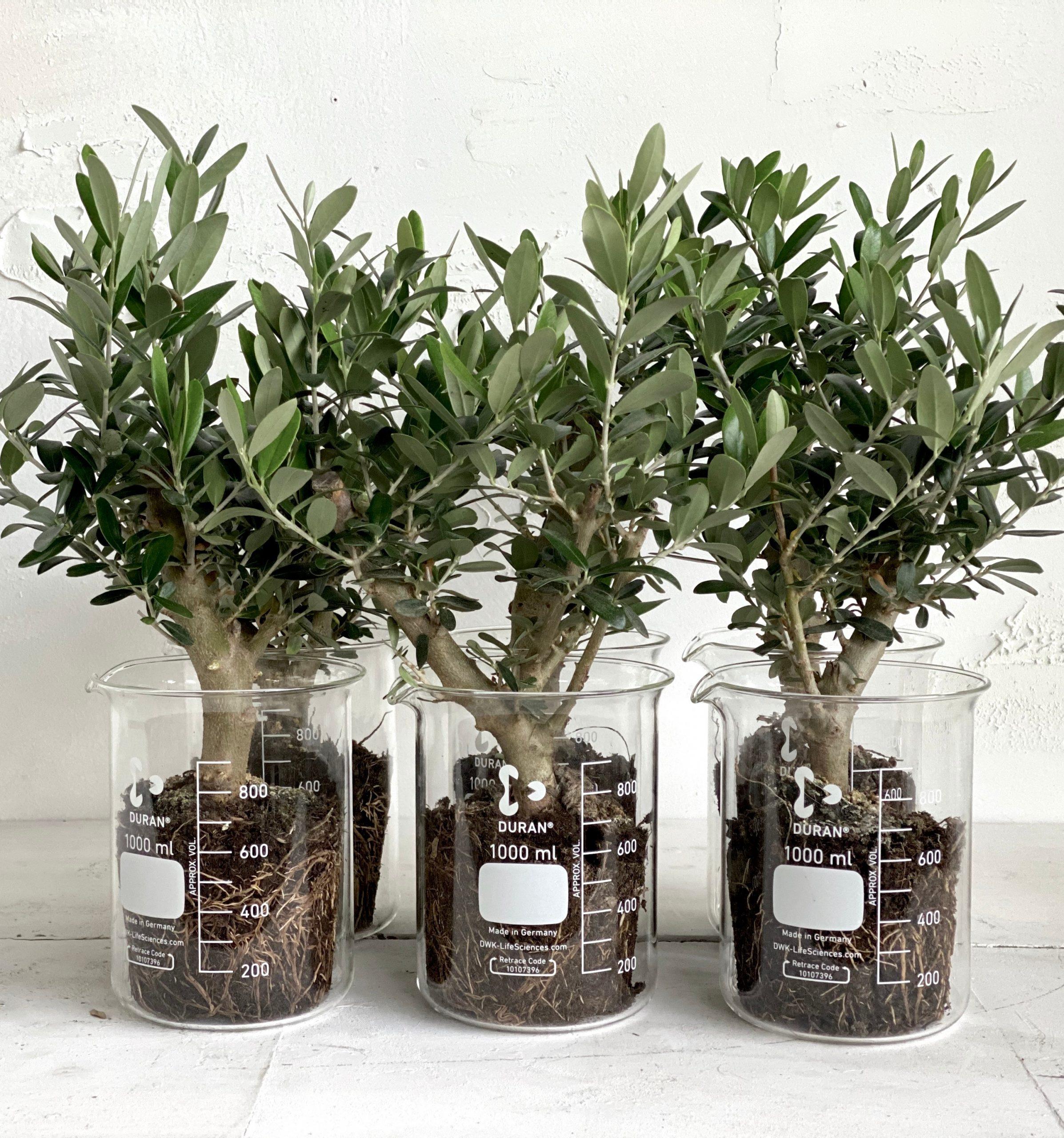 צמח לבית ולמשרד בעיצוב מיוחד וקסום עץ זית בכלי מעבדה