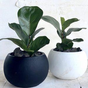 צמח מומלץ לבית או למשרד פיקוס כינורי 'ביבי' למראה ירוק ונקי