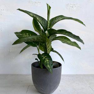 צמח גדול לבית או למשרד דיפינבכיה טרופיק בעלת צבע מגוון וייחודי 🌿