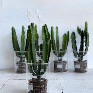 צמח בית מיוחד חלבלוב בכלי מעבדה בעיצוב מיוחד