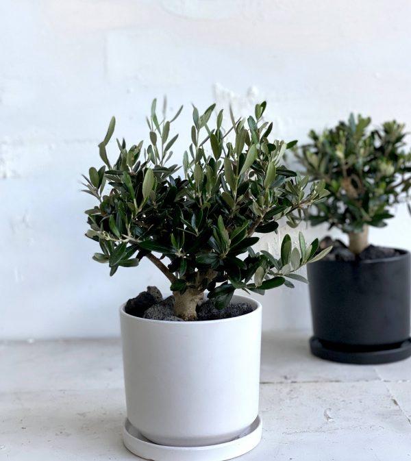 עץ קטן לבית עץ זית ננסי בכלי קרמיקה נקי ויפה