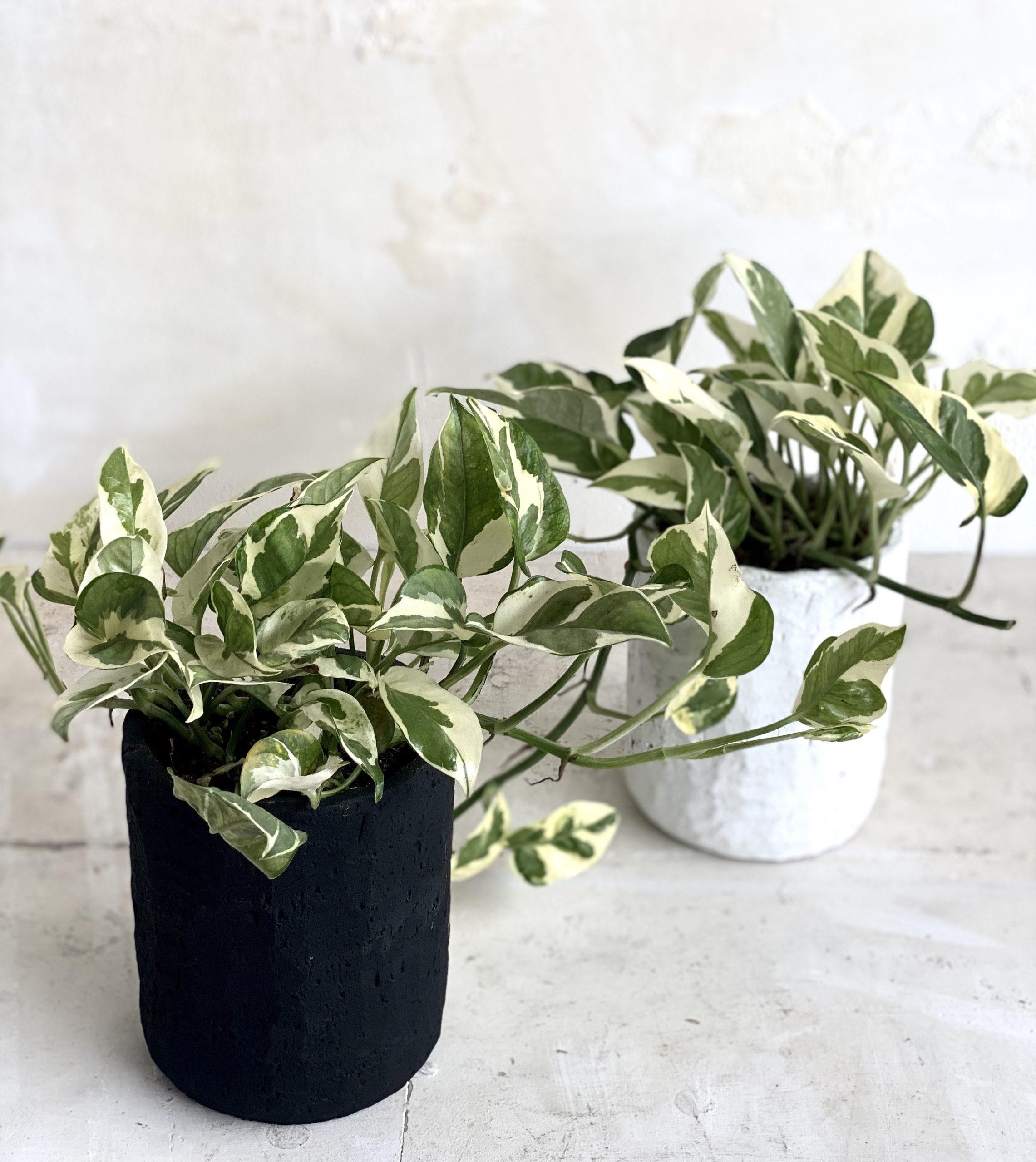 צמח עמיד במיוחד פוטוס לבן למראה ייחודי ועשיר