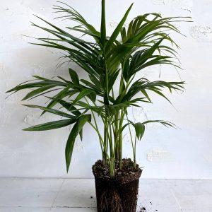 צמח גדול ומלא לבית ולמשרד דקל קנציה - להכניס טבע בין הקירות🌴