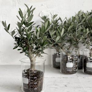 צמח לבית ולמשרד בעיצוב מיוחד וקסום עץ זית בכלי מעבדה 🌿